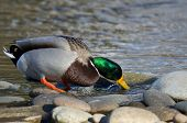 Mallard Duck Drinking At The Side Of A River