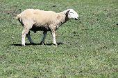 Sheep (Ram)