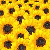 Sunflower background pattern