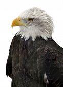 Bald Eagle isolated