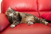 Cat Licking His Paw On Red Sofa