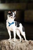 Purebred Black And White Dog