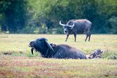 foto of carabao  - asia buffalo in grass field at thailand - JPG
