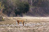 wild female tiger at Bardia national park, Nepal
