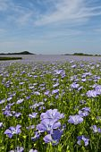 stock photo of flax plant  - Field of linseed oil plants or flax  - JPG