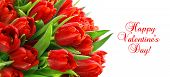 Red Tulips With Water Drops. Spring Flowers