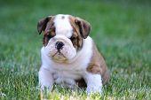 cute puppy sitting in the grass - english bulldog