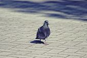 Beautiful pigeon walking on the pavement in warm may day.