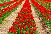 Field of brilliant red tulips.