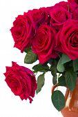 Dark  Pink Roses Close Up
