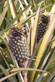 Pineapple - P