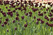 Black-red Tulips