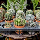 Small Cactus In Flowerpot