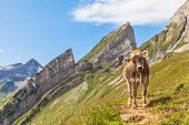 Cow Of Alps