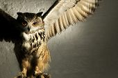 image of splayed  - A well lit studio shot of an eagle owl looking menacing with wings splayed - JPG