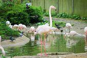 UK, England, London - 5 May 2013: Pink flamingos at the zoo