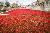 London Tower - October 11 2014. Ceramic Poppies Installation By Paul Cummins And Tom Pipe On October