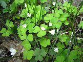 picture of sorrel  - Moment of blossoming of flowering wood sorrel - JPG