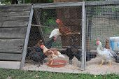 Hens In Village Farm