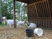 Goats In Wooden Stockyard