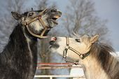 Two Gray Ponies Fighting Playfully