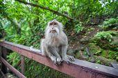 Monkeys In Monkey Forest, Ubud, Bali, Indonesia