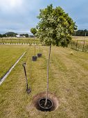 Three oak trees being planted into the ground