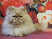 Portrait Of An Adult Persian Cat