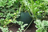 Ripe Watermelons On A Field
