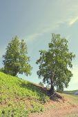 Summer Birch On The Hill