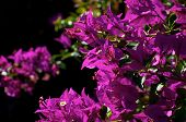 Bougainvillea Plant In Bloom