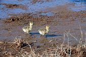 Two Canada geese goslings