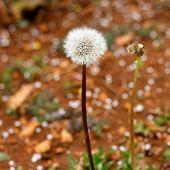 picture of blow-up  - Spring Dandelion wild flower blow balls - JPG