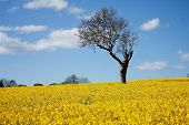 stock photo of unique landscape  - Unusual unique bare branch tree alone standing out amongst bright yellow fragrant Rape seed field in full bloom blue sky and few clouds during Spring in rural Gloucestershire England - JPG