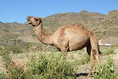 stock photo of ethiopia  - Arabian camel, animals of Ethiopia, North Africa