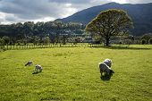 picture of spring lambs  - Spring lambs in sunlight in front of mountain in Lake District - JPG