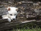 stock photo of white wolf  - Young - JPG