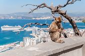 image of gibraltar  - Barbary macaque monkey in Gibraltar on a wall - JPG