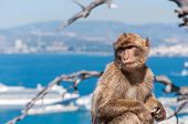 stock photo of gibraltar  - Closeup of barbary macaque monkey in Gibraltar - JPG