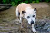 pic of staffordshire-terrier  - Adorable old Staffordshire Bull Terrier having fun at the beach - JPG