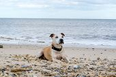 image of staffordshire-terrier  - Adorable old Staffordshire Bull Terrier having fun at the beach - JPG