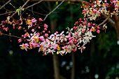 stock photo of cassia  - The flower of cassia bakeriana craib in dark background - JPG