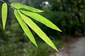stock photo of bamboo leaves  - beautiful green bamboo leaves  in a jungle close - JPG