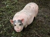 picture of pig-breeding  - pig behind the fence looking for food view from the swine farm - JPG