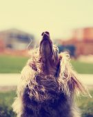 image of long-haired dachshund  -  a miniature long haired dachshund with his ears flowing in the breeze toned with a retro vintage instagram filter effect  - JPG