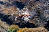 picture of lion-fish  - lion fish  - JPG