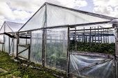 image of tomato plant  - tomato and cucumber plants in a greenhouse - JPG