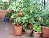 stock photo of tomato plant  - Tomato and basil plant in the pot on the terrace of a house in the city - JPG