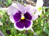 Stock Image Of Pansies