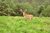 stock photo of  bucks  - Large Whitetail Buck standing in Alfalfa field growing his velvet rack - JPG